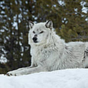 Wolf - Resting Art Print