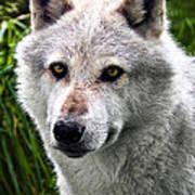 Wolf Alpha Male Art Print