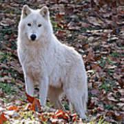 Wolf In Autumn Art Print
