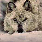 Wolf In Snow Art Print
