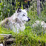 Wolf In The Grass Art Print