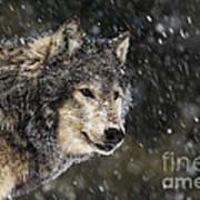 Wolf - Snow Storm Art Print