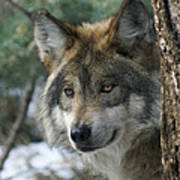 Wolf Upclose Art Print