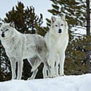 Wolves - Partners Art Print