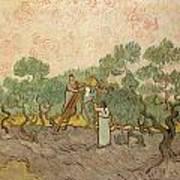 Women Picking Olives Art Print