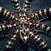 Wonderpus Octopus Art Print