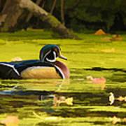 Wood Duck On Pond    Art Print