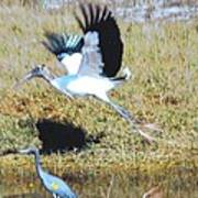 Wood Stork And Blue Heron Art Print
