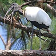 Wood Stork Art Print
