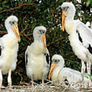 Wood Stork Young In Nest Art Print