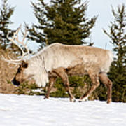 Woodland Caribou Art Print