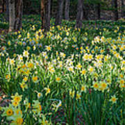 Woodland Daffodils Art Print by Bill Wakeley