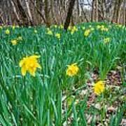 Woodland Daffodils Art Print