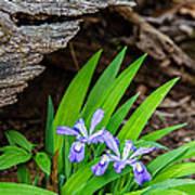 Woodland Dwarf Iris Wildflowers Art Print