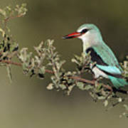 Woodland Kingfisher Kruger Np South Art Print