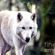 Woodland White Wolf 2 Art Print