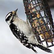 Woodpecker At Suet Iv Art Print