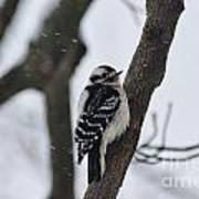 Woodpecker In Winter Art Print