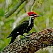 Woodpecker On A Limb Art Print