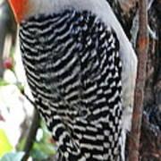 Woodpecker Profile Ll Art Print