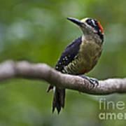 Woody Woodpecker.. Art Print