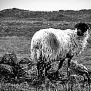 Wooly Goat Art Print