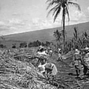Workers Harvesting Sugar Cane Art Print