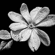 Wounded White Magnolia Wide Version Black And White Art Print