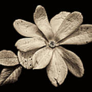 Wounded White Magnolia Wide Version Sepia Art Print