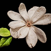Wounded White Magnolia Wide Version Art Print