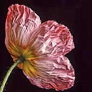 Wrinkled Rose Art Print