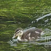 Wye Dale Duckling Art Print
