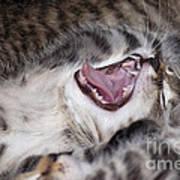Yawning Kitten Art Print