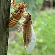 Year Of The Cicada Art Print