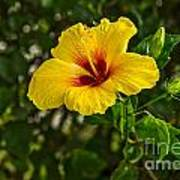 Yellow - Beautiful Hibiscus Flowers In Bloom On The Island Of Maui. Art Print