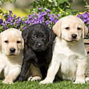Yellow And Black Labrador Puppies Art Print