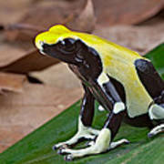 Yellow And Black Poison Dart Frog Art Print