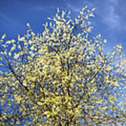 Yellow And Blue - Blooming Tree In Spring Art Print