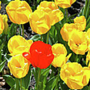 Yellow And One Red Tulip Art Print