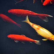 Yellow And Orange Koi Swimming Art Print