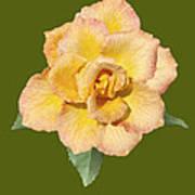 Yellow And Pink Rose Art Print
