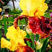 Yellow And Purple Iris Art Print
