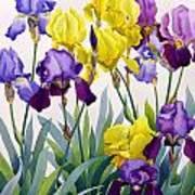 Yellow And Purple Irises Art Print