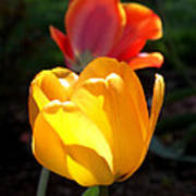 Yellow And Red Tulips Art Print