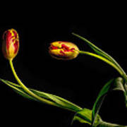 Yellow And Red Tulips On Black - Reaching Out Art Print