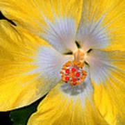 Yellow And White Hibiscus Art Print