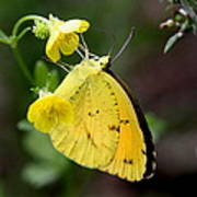 Yellow And Yellow Sulphur Butterfly Art Print