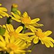 Yellow Arfaj Flowers Art Print
