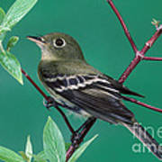 Yellow-bellied Flycatcher Art Print