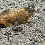 Yellow-bellied Marmot   #5187 Art Print